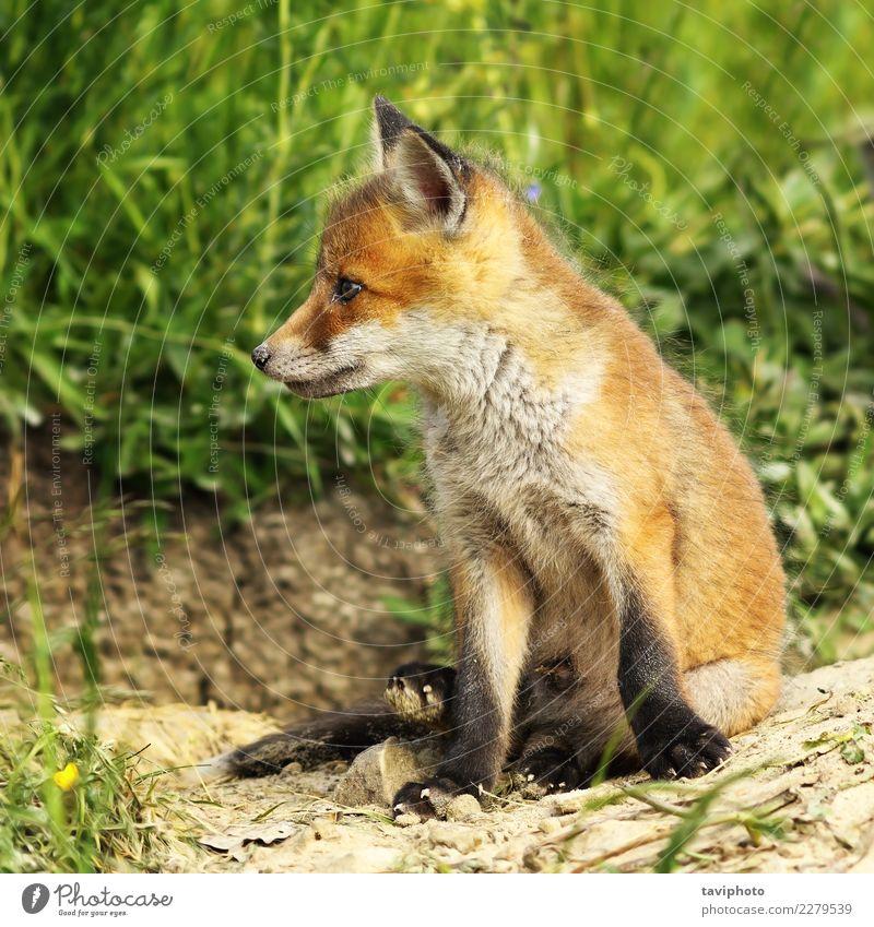 Nahaufnahme des jungen roten Fuchses schön Gesicht Baby Umwelt Natur Tier Gras Wald Pelzmantel Hund klein natürlich niedlich wild braun grün Farbe pelzig