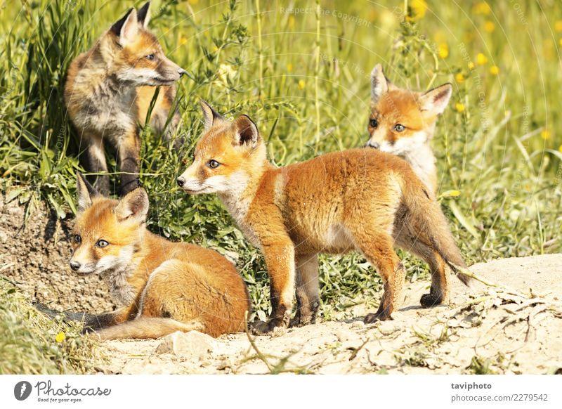 süße kleine Rotfuchsjunge in natürlicher Umgebung schön Gesicht Baby Familie & Verwandtschaft Jugendliche Umwelt Natur Tier Gras Pelzmantel Hund Tierjunges