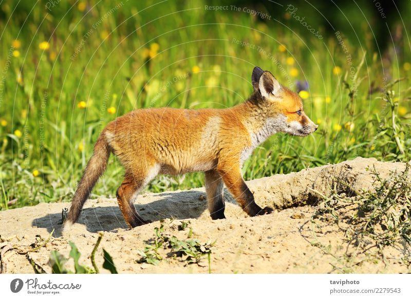süßer junger Rotfuchs Natur Hund schön grün weiß rot Tier Gesicht Tierjunges Gras Familie & Verwandtschaft klein braun wild Baby niedlich