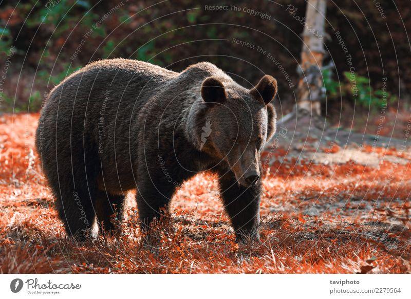 Riesiger Braunbär in freier Wildbahn Jagd Sommer Mann Erwachsene Mund Umwelt Natur Tier Herbst Park Wald Pelzmantel alt stehen muskulös natürlich stark wild