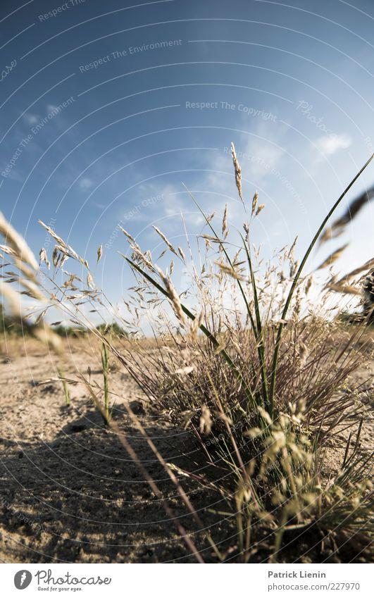 fresh feeling Umwelt Natur Pflanze Urelemente Erde Luft Sonnenlicht Sommer Schönes Wetter Gras Blatt Grünpflanze Wildpflanze Wiese schön trocken wild blau Blüte