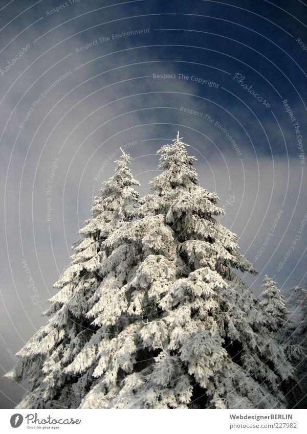 2 Tannenspitzen ragen empor Himmel Natur blau weiß Baum Pflanze Wolken Winter Schnee Umwelt oben hoch paarweise Idylle Tanne Gewicht