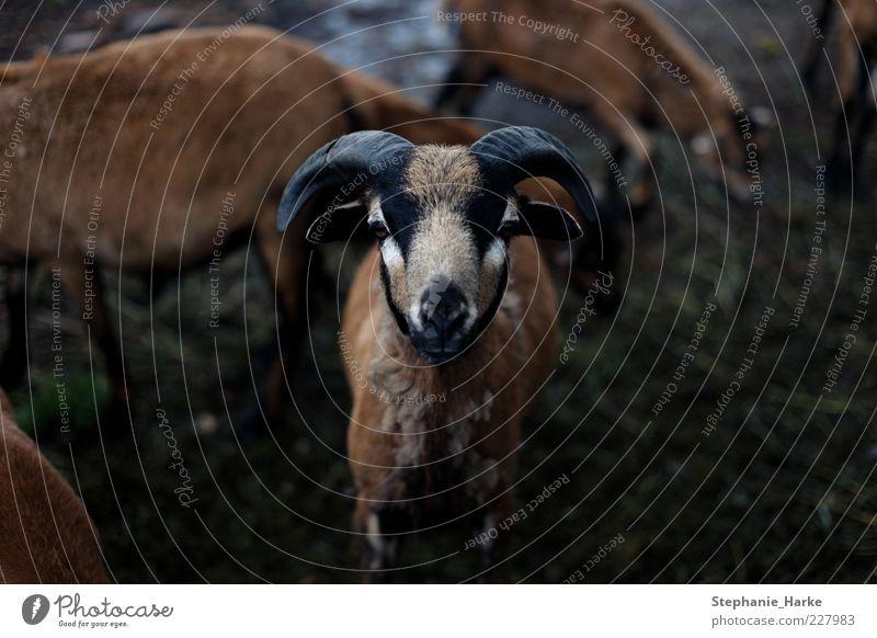 Bock Bioprodukte Auge Umwelt Natur Pflanze Tier schwarzhaarig brünett blond rothaarig Haustier Nutztier Wildtier Tiergesicht Fell bedrohlich Farbfoto