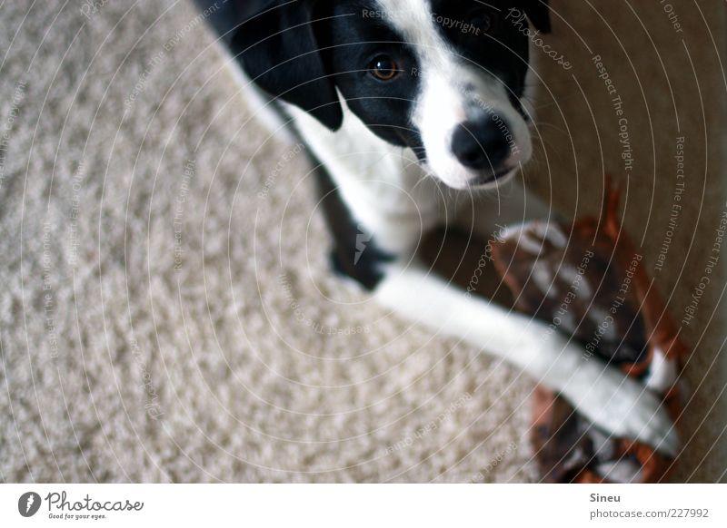 Das war ich nicht...! schön Tier Spielen Hund liegen kaputt niedlich beobachten Tiergesicht Neugier entdecken Zerstörung Überraschung Pfote Verbote Teppich