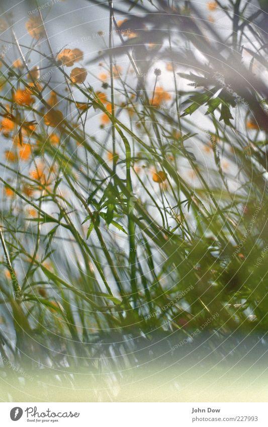durcheinander Frühling Sommer Pflanze Blume Gras Wiese grün Surrealismus chaotisch Hahnenfuß Sommerblumen Blumenwiese Lomografie analog Unschärfe gelb