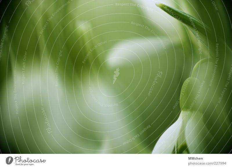 Randerscheinung Natur weiß grün Pflanze Blüte frisch Wachstum Wandel & Veränderung Blühend Duft Blume Blütenblatt Intuition Frühlingsgefühle Schneeglöckchen