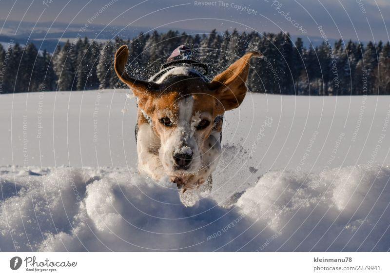 Wintersprung Freiheit Schnee Winterurlaub Sport Fitness Sport-Training Tier Haustier Hund Beagle 1 Kristalle Wasser Bewegung fliegen Jagd springen Fröhlichkeit