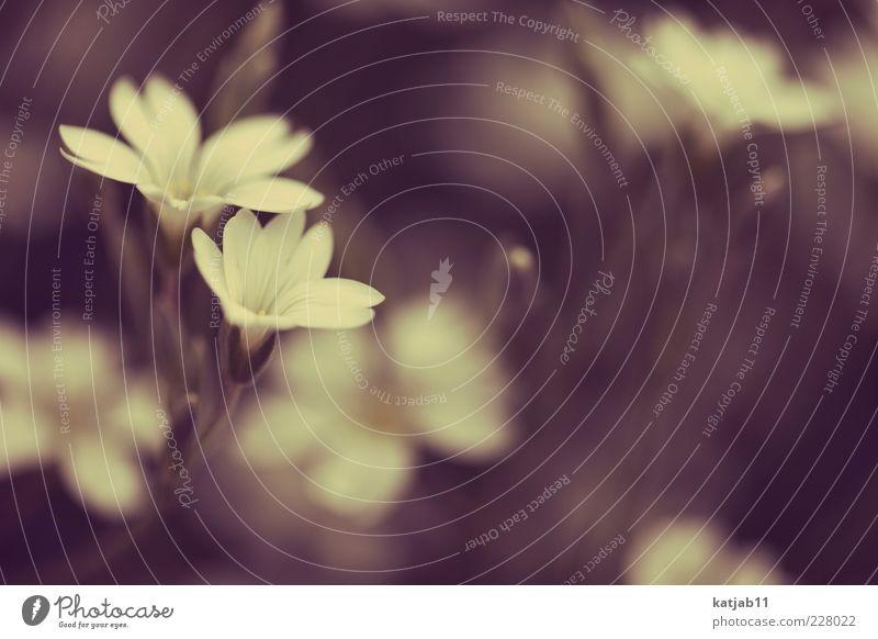 Flowers Natur weiß Pflanze Sommer gelb Garten Blüte retro weich Blühend Stengel Blütenblatt Makroaufnahme