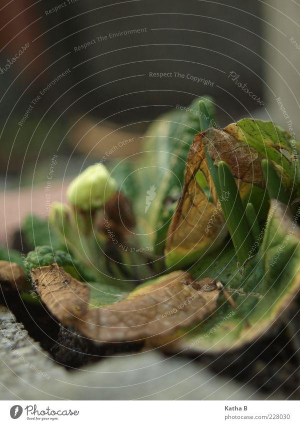 Primel befreit sich von altem Ballast alt grün Pflanze Blume Blatt gelb grau Stein braun Wachstum neu Duft vertrocknet Beet Primelgewächse dehydrieren