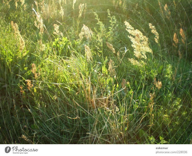 Sommerwiese Natur grün Pflanze Umwelt Wiese Gras Wind natürlich wild authentisch Abenddämmerung Pollen sommerlich