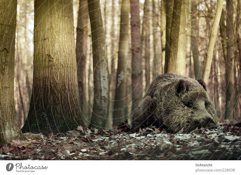 Wildschwein schläft Natur Herbst Winter Eis Frost Baum Wald Tier Wildtier Fell 1 liegen schlafen träumen braun grün ruhig Frühjahrsmüdigkeit Müdigkeit Baumstamm