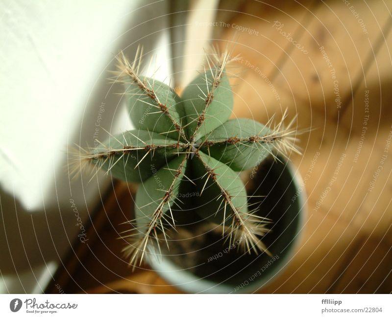 kaktus Kaktus Stern (Symbol) grün Pflanze Makroaufnahme Nahaufnahme Vogelperspektive