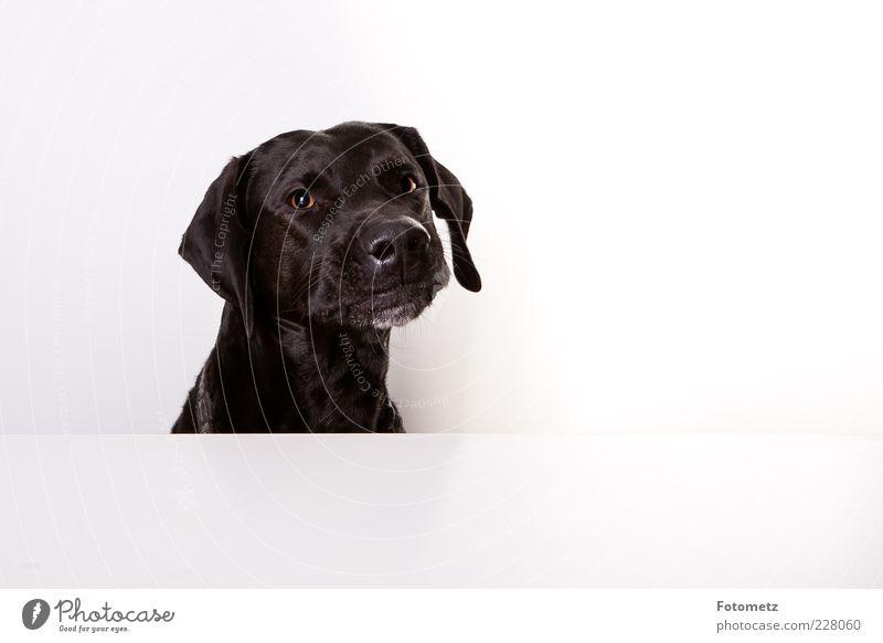 Hund am Tisch schön Tier Haustier Tiergesicht Fell 1 frech listig lustig niedlich schwarz authentisch Farbfoto Innenaufnahme Nahaufnahme Textfreiraum rechts