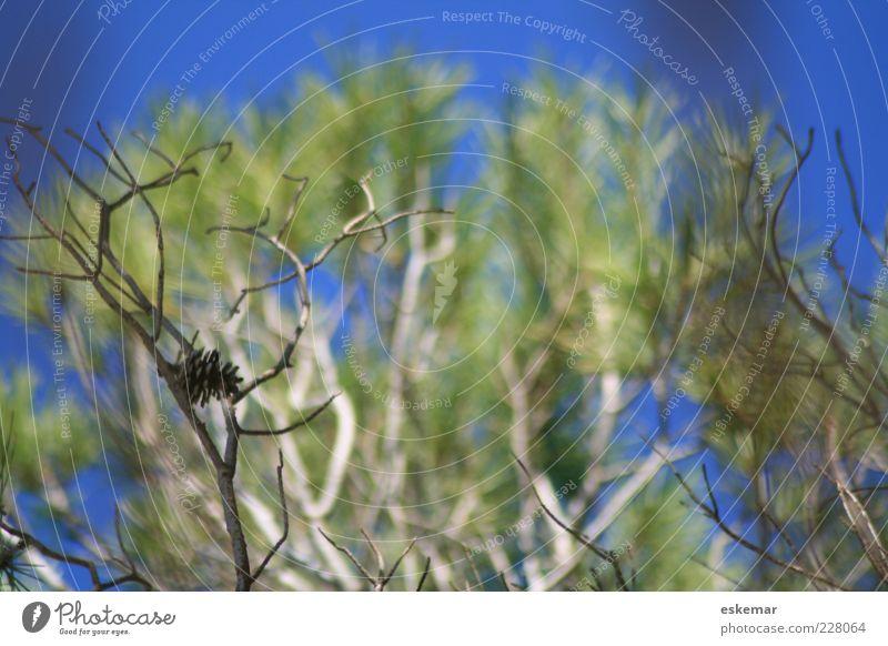 bleue Umwelt Natur Pflanze Himmel Sonnenlicht Sommer Baum Zapfen authentisch blau grün Baumkrone Pinie Farbfoto Menschenleer Tag Licht Schwache Tiefenschärfe