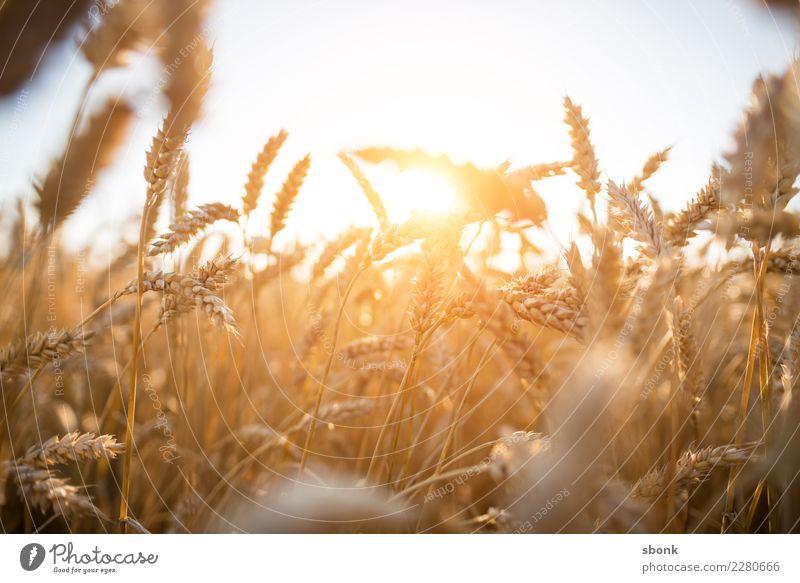 corn is what i need Umwelt Natur Landschaft Pflanze Erde Himmel Sonne Sonnenaufgang Sonnenuntergang Sonnenlicht Gras Sträucher Nutzpflanze Kornfeld