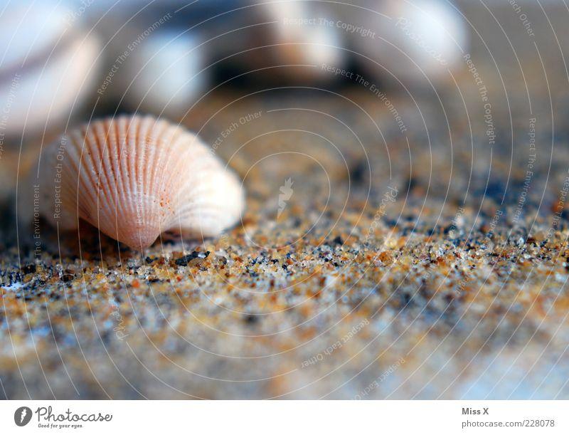 Muschelchen Strand klein Muschelschale Sand Sandstrand Herzmuschel Farbfoto Außenaufnahme Nahaufnahme Menschenleer Textfreiraum unten Schwache Tiefenschärfe