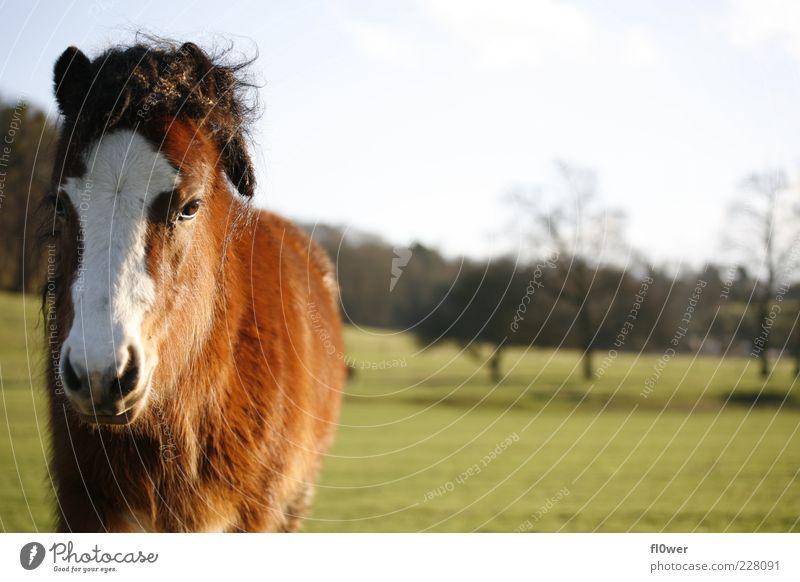 verpeiltes Pferd auf einer Wiese!!! Natur alt weiß Sonne Baum Landschaft Tier schwarz Wiese Leben Gras braun Wildtier authentisch Schönes Wetter Hügel
