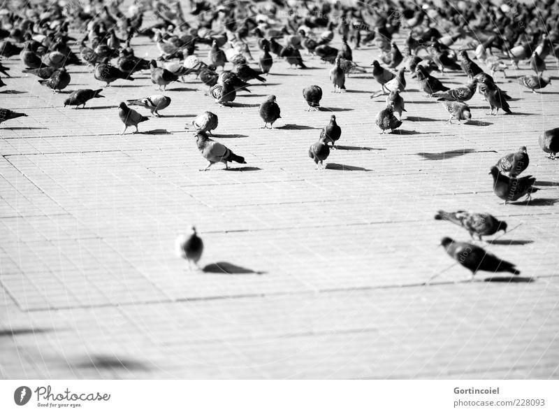 Taksim-Platz Tier Vogel Wildtier Flügel viele Taube Türkei Schwarm Istanbul Plage Schwarzweißfoto Tiergruppe Taksim Viertel