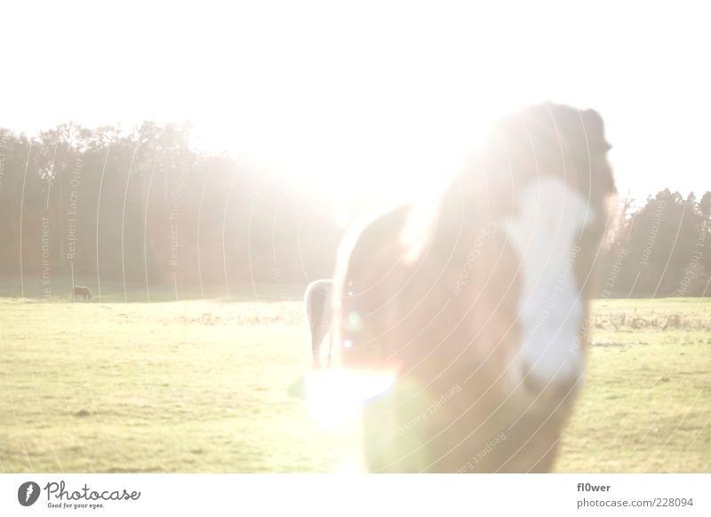viel Sonne und ein Pferd! Leben Lampe Natur Landschaft Tier Wolkenloser Himmel Schönes Wetter Baum Pony Nutztier Tiergesicht authentisch stark braun schwarz