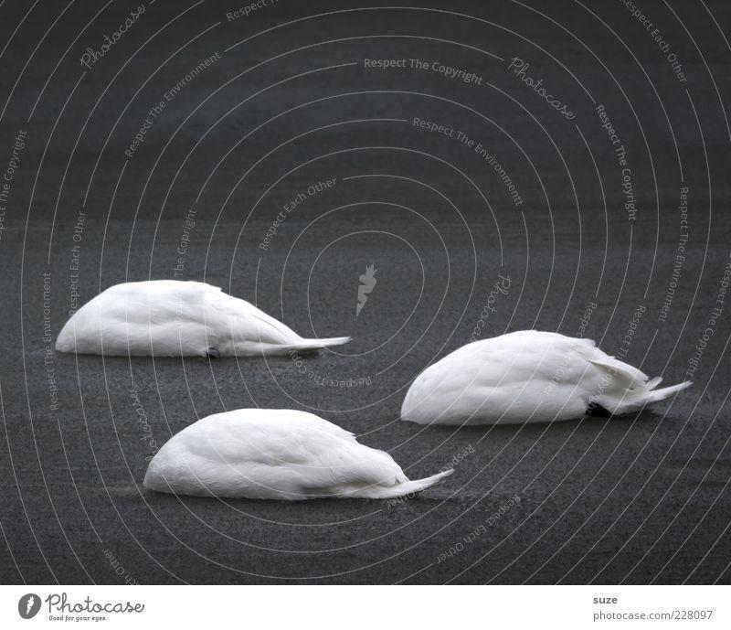 Kopflos Natur Wasser weiß Meer Tier ruhig schwarz Umwelt dunkel kalt Gefühle Traurigkeit lustig Vogel Schwimmen & Baden außergewöhnlich