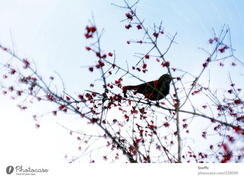 Amsel auf einem Zweig mit Vogelbeeren Amseln Silhouette heimisch Einsamkeit Vogelbeerbaum Vogelbeobachtung Vögel füttern Vogelfutter Stimmungsbild November