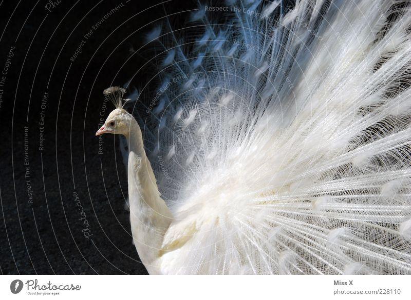 Weiß weiß Tier Vogel elegant ästhetisch Feder außergewöhnlich rein fantastisch Stolz Hochmut Licht Pfau Textfreiraum links prächtig Albino