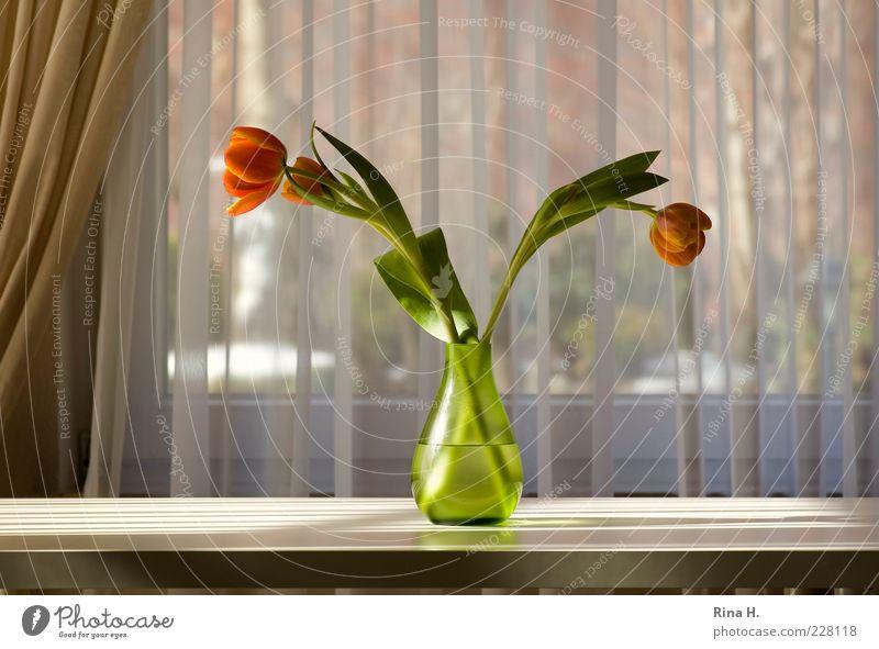 Sonnengruß Lifestyle Blume Tulpe Vase Blühend leuchten grün Lebensfreude Stillleben ruhig Gardine Tisch Farbfoto Innenaufnahme Menschenleer Licht Schatten