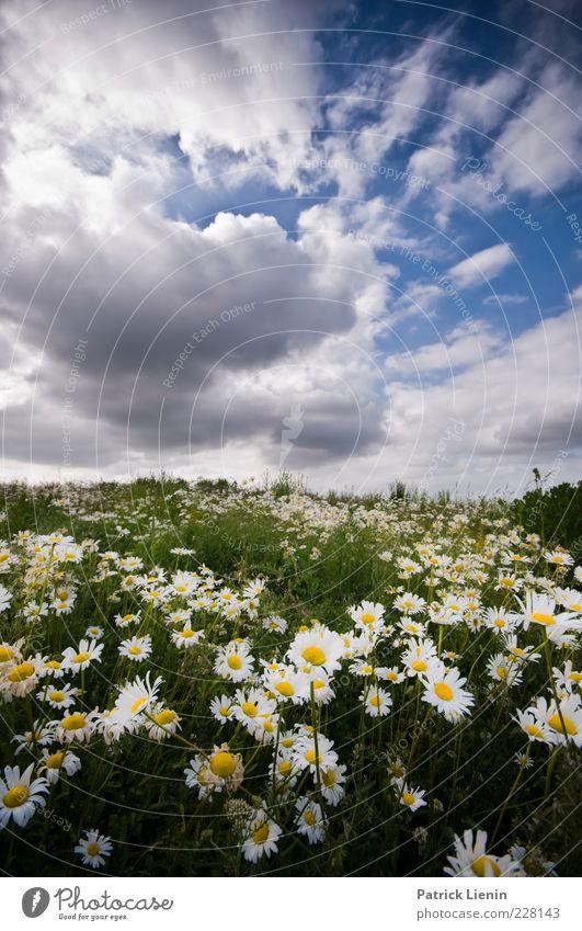 träum ich? Umwelt Natur Landschaft Pflanze Urelemente Luft Himmel Wolken Sommer Klima Wetter Schönes Wetter Blume Wildpflanze Wiese Hügel Duft schön Margerite