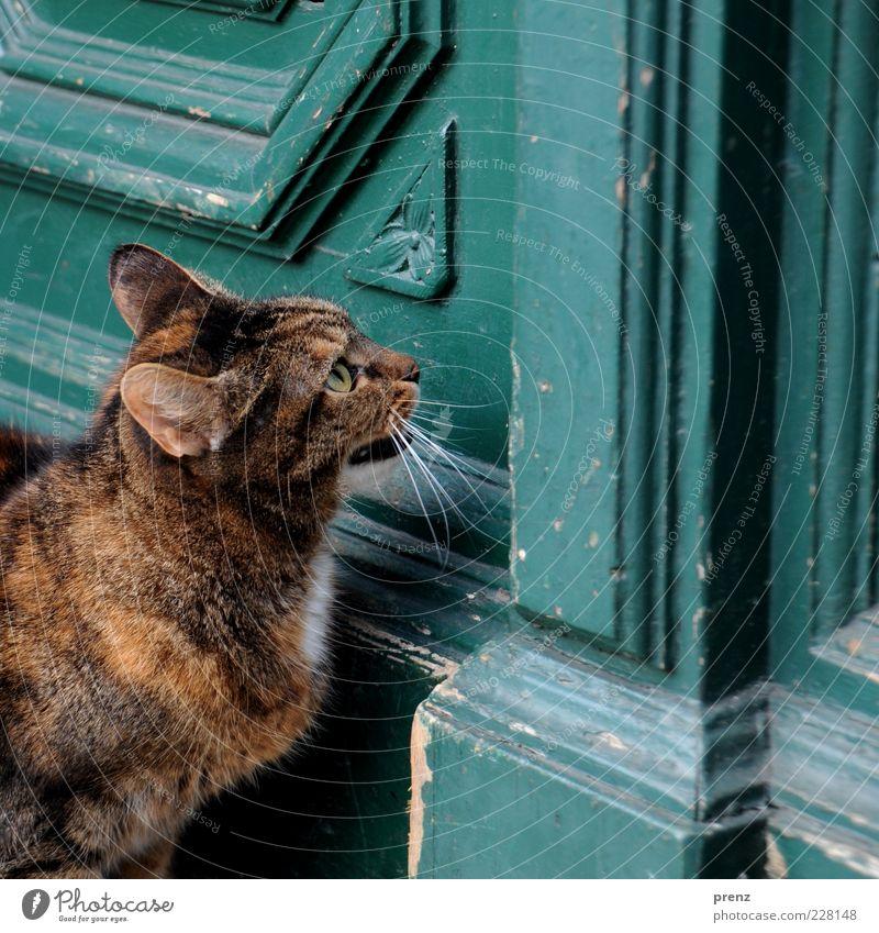 Katze Tier Haustier Tiergesicht 1 ästhetisch braun weiß Tür alt Ohr Auge Tierporträt aufmachen Farbfoto Außenaufnahme Nahaufnahme Zentralperspektive Miau