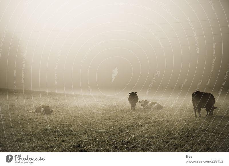 rumhängen Natur Herbst Wetter schlechtes Wetter Nebel Pflanze Wiese Kuh Tiergruppe kalt Stimmung Trägheit trist Gras Weide Müdigkeit stehen liegen Farbfoto