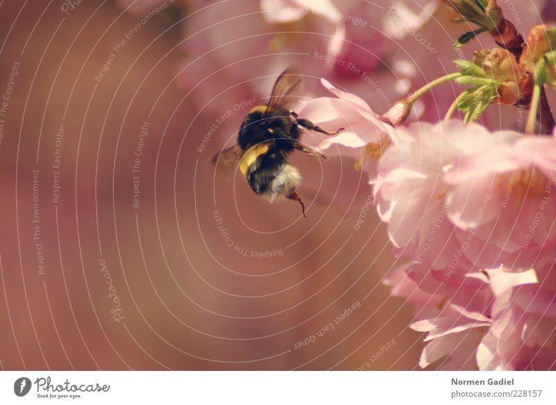 bumblebee Umwelt Natur Frühling Tier Hummel Frühlingsgefühle Farbfoto Außenaufnahme Makroaufnahme Tag Licht Sonnenlicht Unschärfe Blütenblatt rosa Rückansicht