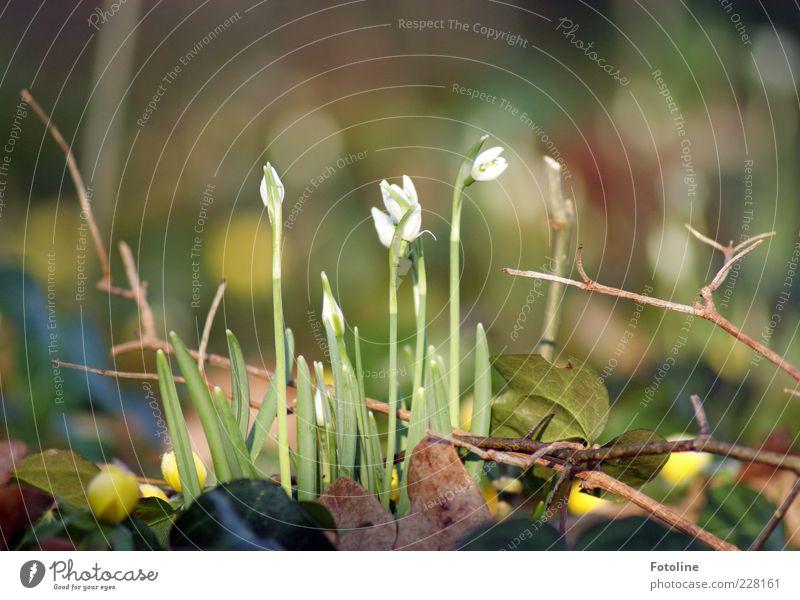Frühlingserwachen Umwelt Natur Pflanze Urelemente Blume Blüte Wildpflanze hell natürlich braun grün weiß Schneeglöckchen Frühblüher Blühend Blütenknospen