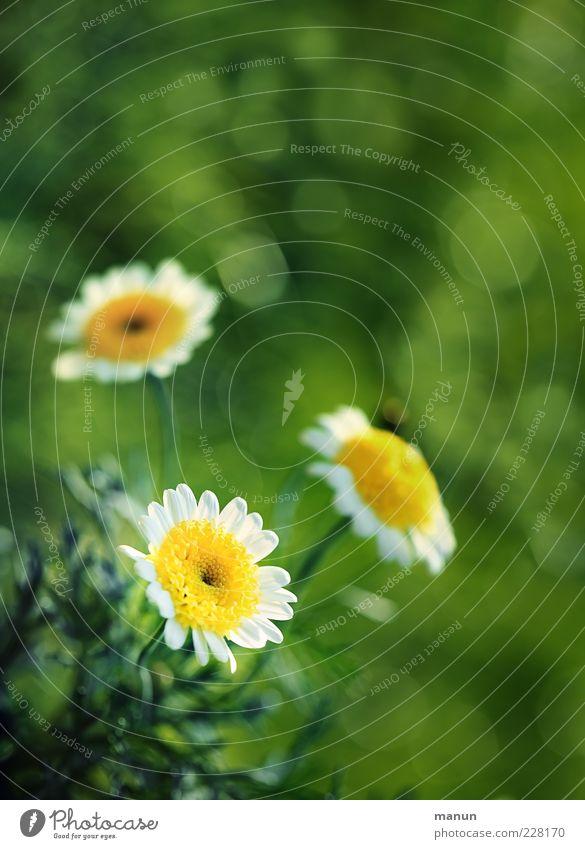 Zeit für Blumen Natur Frühling Sommer Blatt Blüte Margerite Duft hell natürlich schön Frühlingsgefühle Naturwuchs Farbfoto Außenaufnahme Nahaufnahme