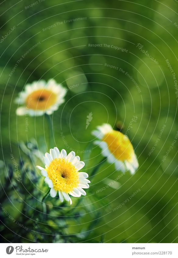 Zeit für Blumen Natur schön Blume Sommer Blatt Blüte Frühling hell natürlich Duft Margerite Blütenblatt Frühlingsgefühle Naturwuchs