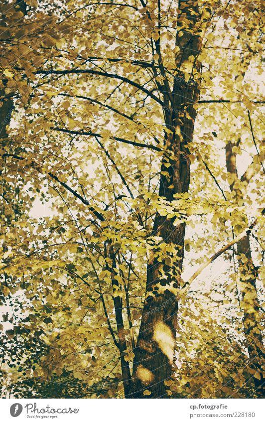 Im Wald Natur Pflanze Himmel Sommer Herbst Baum Blatt Wachstum Laubbaum Baumstamm Farbfoto Tag Abend Licht Schatten Kontrast Sonnenlicht Sonnenstrahlen