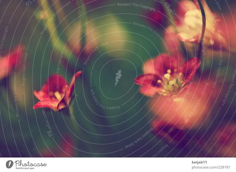 **flowers** Natur grün Pflanze rot Blume Sommer Umwelt Blüte Stengel Duft Blütenblatt Blütenkelch