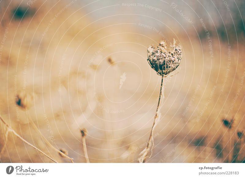 stolzer Korbblütler Natur Pflanze Herbst Winter Blume Gras Blüte Wildpflanze Garten Park Wiese Feld wild Farbfoto Tag Abend Licht Schwache Tiefenschärfe