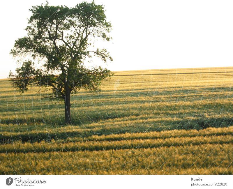 Baum auf Feld Getreide Sonne