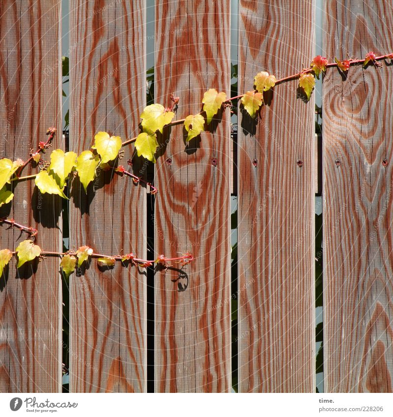 Carport Deko Leben Sonne Umwelt Natur Pflanze Blatt Holz Wachstum heiß trocken gelb Wein Kletterpflanzen Ranke Holzwand Holzzaun Zaun Holzbrett Naturwuchs