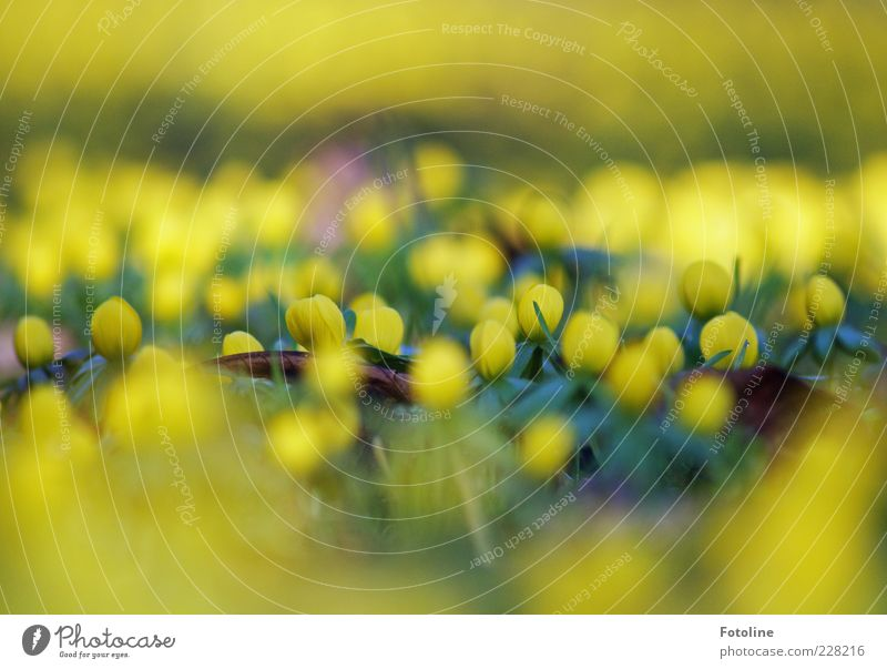 Leuchtfeuer Natur Pflanze Blume Blatt gelb Umwelt Gras Blüte Frühling hell frisch natürlich leuchten Jahreszeiten Unschärfe Wildpflanze