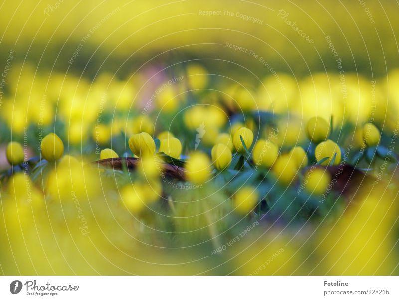 Leuchtfeuer Umwelt Natur Pflanze Frühling Blume Blatt Blüte Wildpflanze hell natürlich gelb leuchten Winterlinge Frühblüher Farbfoto mehrfarbig Außenaufnahme