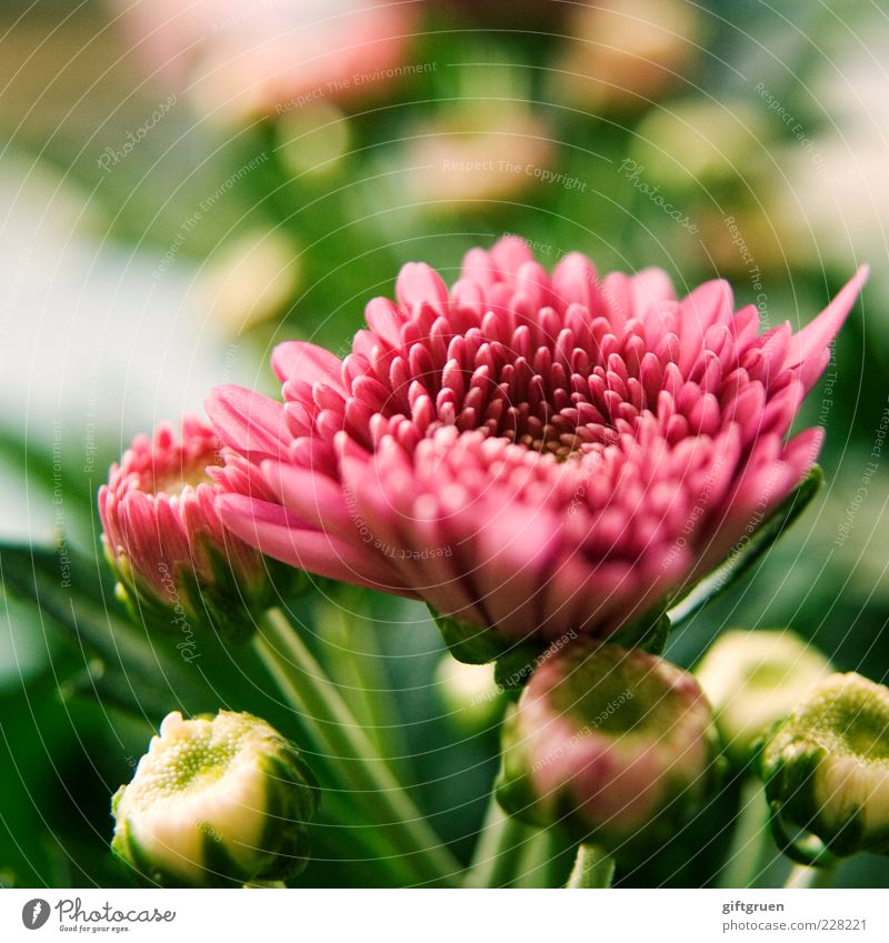 springtime Natur schön Pflanze Blume Umwelt Blüte Frühling rosa frisch Wachstum einfach Blühend Blütenknospen Blütenblatt Pflanzenteile