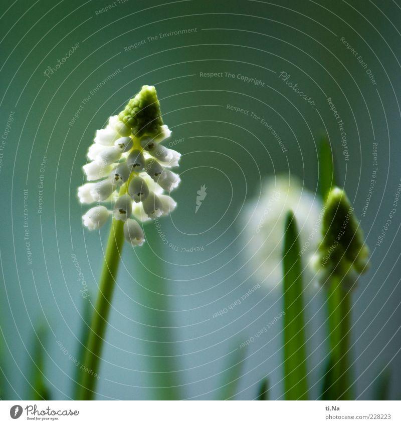 Frühlingsboten Umwelt Natur Pflanze Blüte Wildpflanze Traubenhyazinthe Blühend Duft Wachstum schön blau grün weiß Frühlingsgefühle Vorfreude Farbfoto