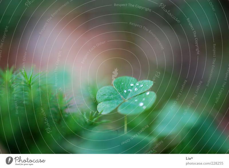 Im Märchenwald Natur grün Pflanze ruhig Umwelt Glück Wassertropfen Wachstum authentisch Hoffnung fantastisch achtsam Kleeblatt Blatt Glücksbringer