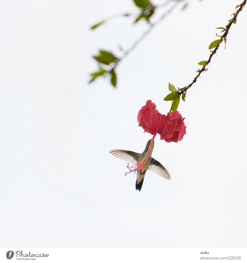 Beija Flor .3 Natur Blume Tier Blüte klein Vogel fliegen Flügel exotisch Fressen Brasilien Vogelflug Kolibris