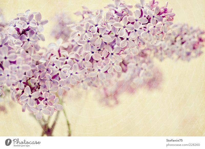 Flieder Natur Pflanze Frühling Sommer Blume Blüte Fliederbusch ästhetisch einfach elegant Fröhlichkeit frisch hell schön natürlich positiv weich violett rosa