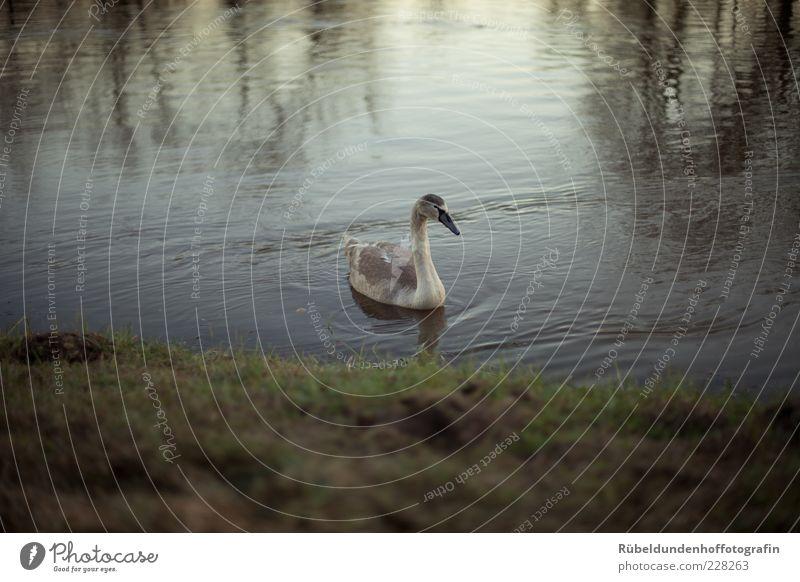 Swan Umwelt Natur Wasser Gras Flussufer Tier Wildtier Schwan Flügel 1 frei braun grau grün ruhig Farbfoto Außenaufnahme Menschenleer Abend