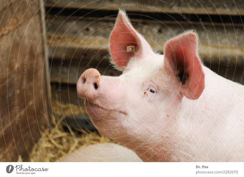 Schwein gehabt Tier Glück Fleisch Tiergesicht Nutztier