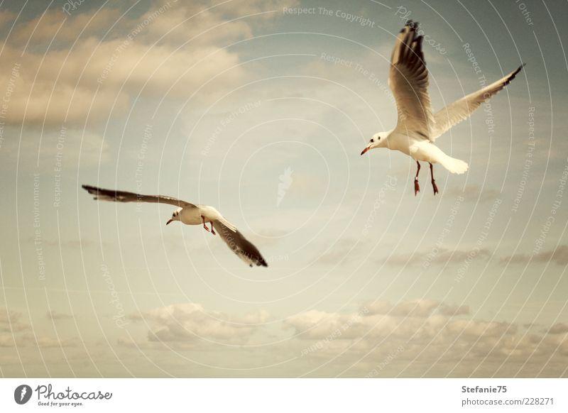 Die Möwen Natur Tier Urelemente Erde Luft Himmel Wolken Sommer Schönes Wetter Wind Küste Strand Meer Wildtier Vogel 2 Bewegung drehen fliegen genießen