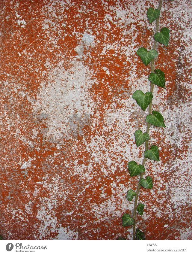 festhalten Natur weiß grün Blatt Wand Mauer braun Wachstum Efeu Ranke